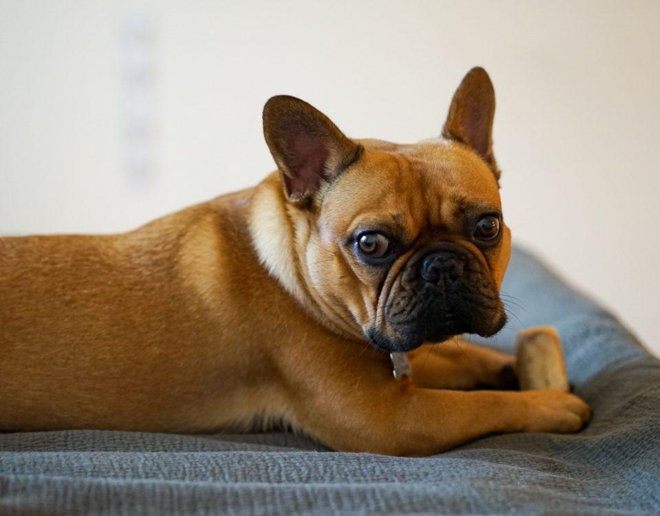 french bulldog won't eat
