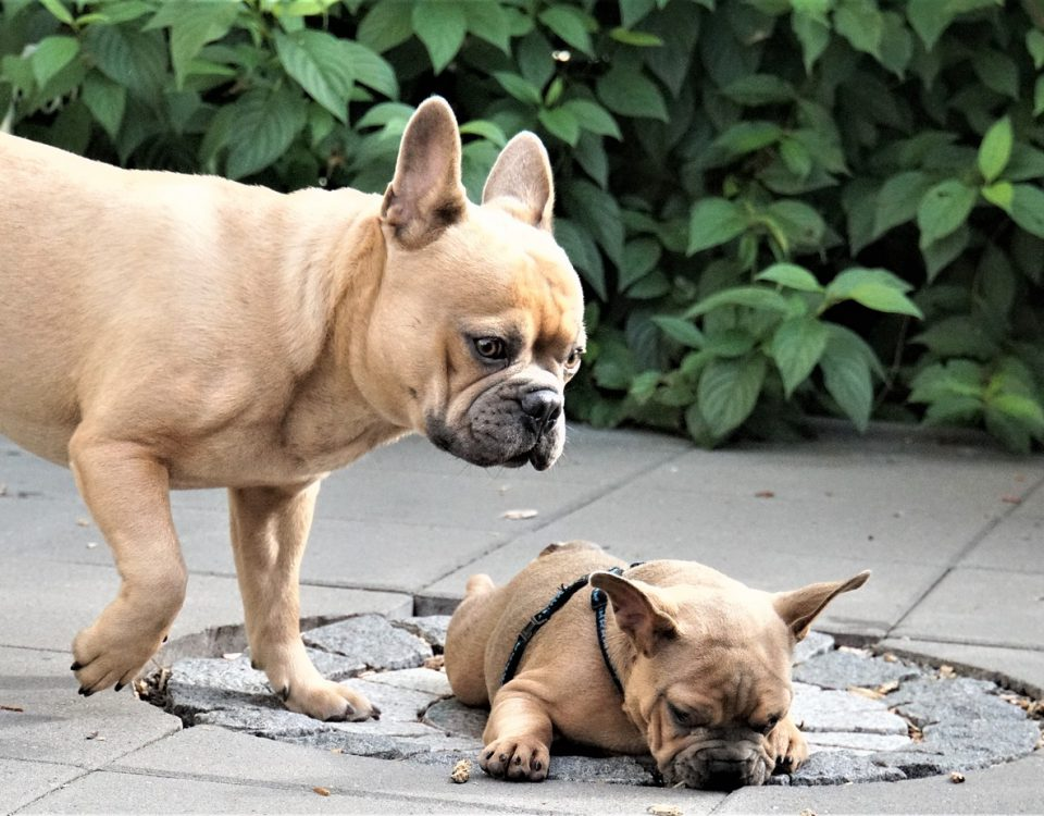 introducing a frenchie to a new pet