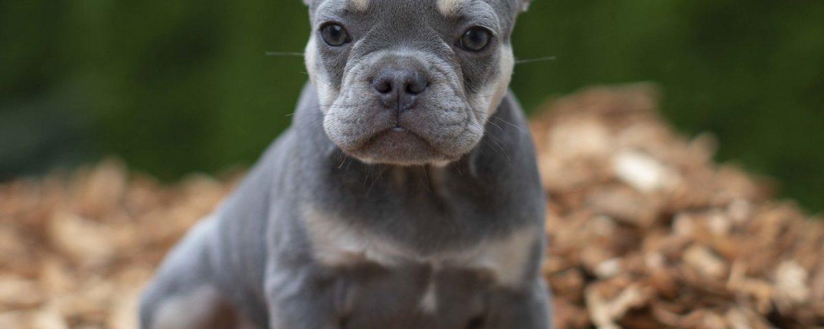 rare french bulldog colors