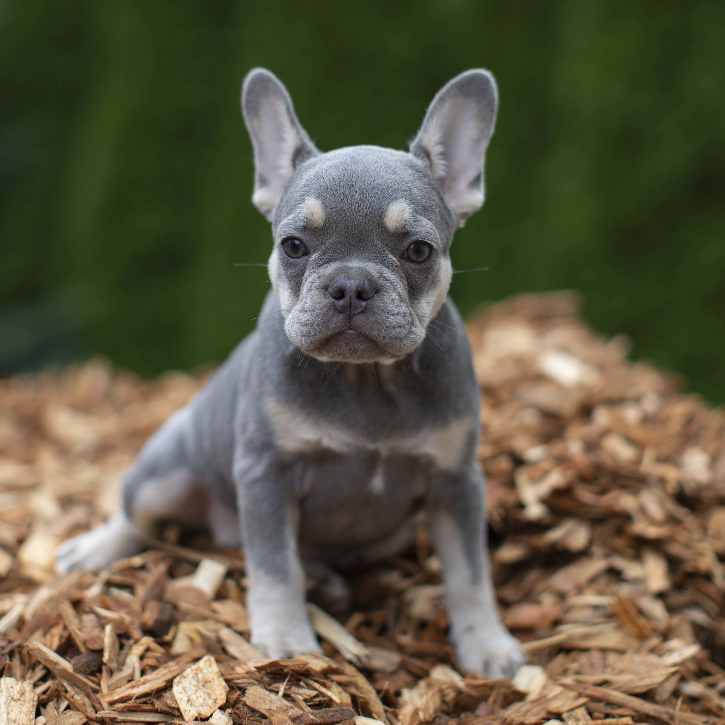 Lilac French Bulldog What Do You Need To Know French Bulldog Breed
