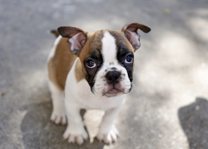 Why does my French bulldog have runny poop