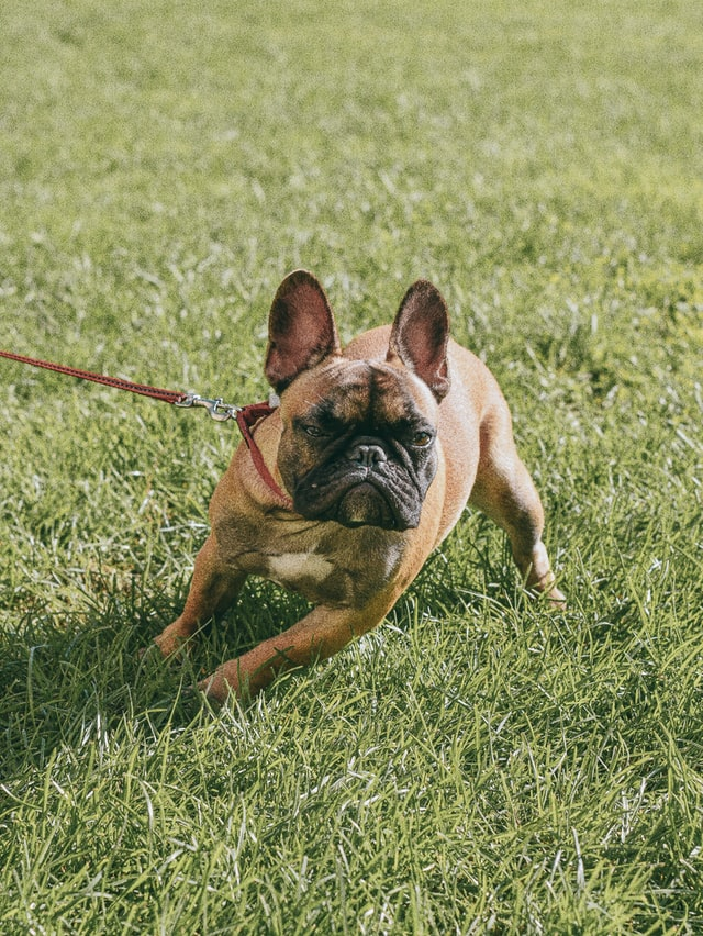 french bulldog biting
