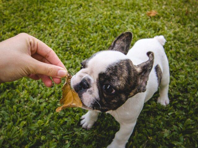 french bulldog biting