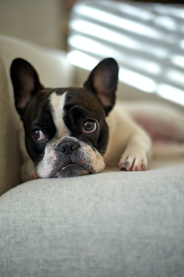 french bulldog cherry eye