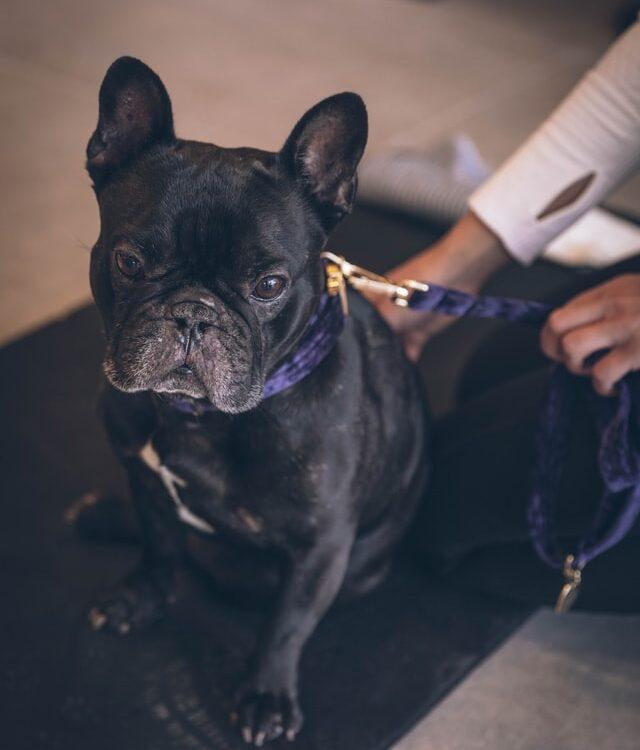 french bulldog skin turning black