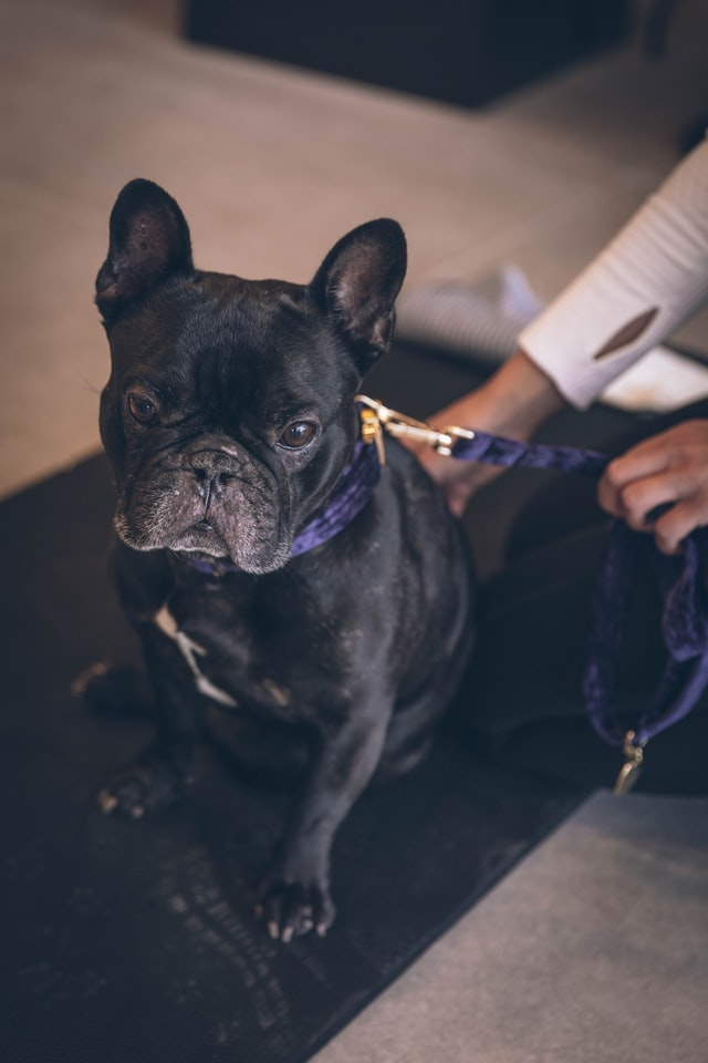 neuter a french bulldog