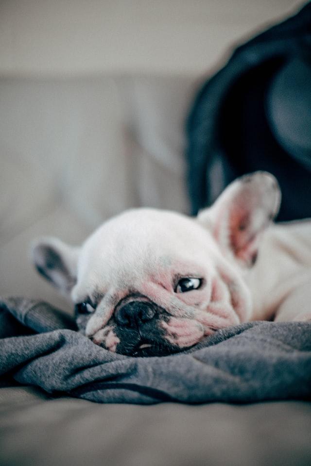 french bulldog heat rash