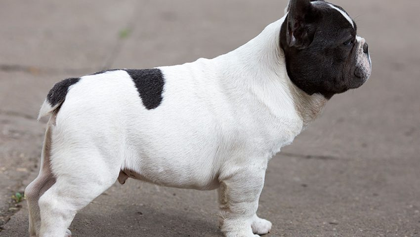 french bulldog tail pocket infection