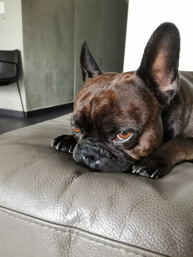 french bulldog skin turning black