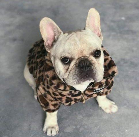 french bulldog coats