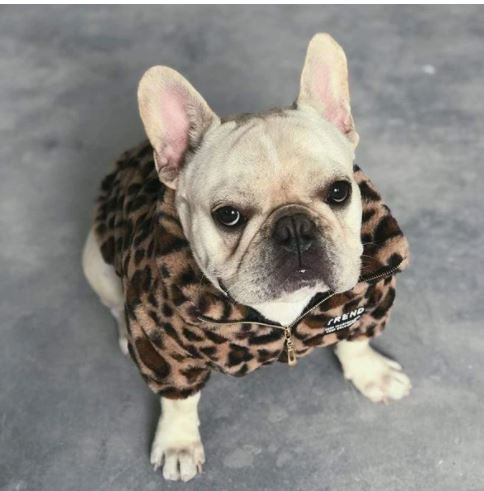 french bulldog coats
