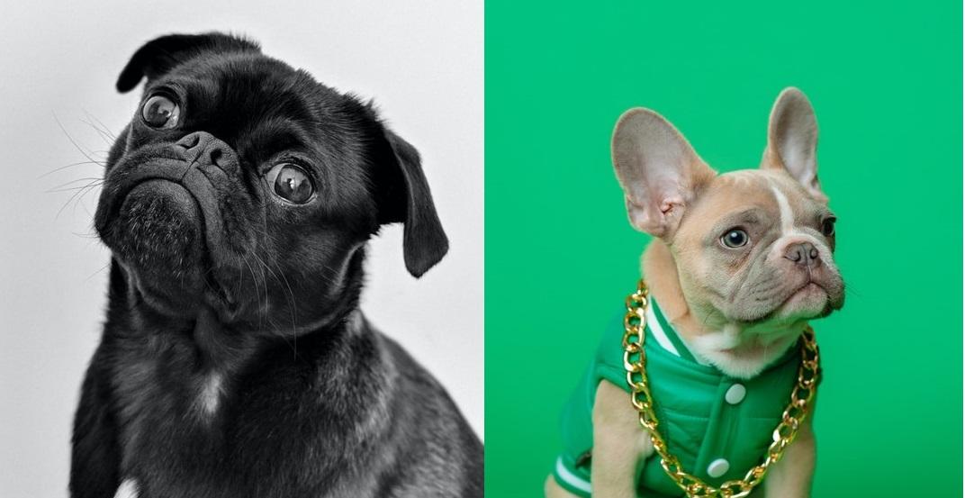 french bulldog vs pug