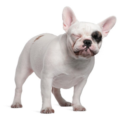 french bulldog reverse sneezing
