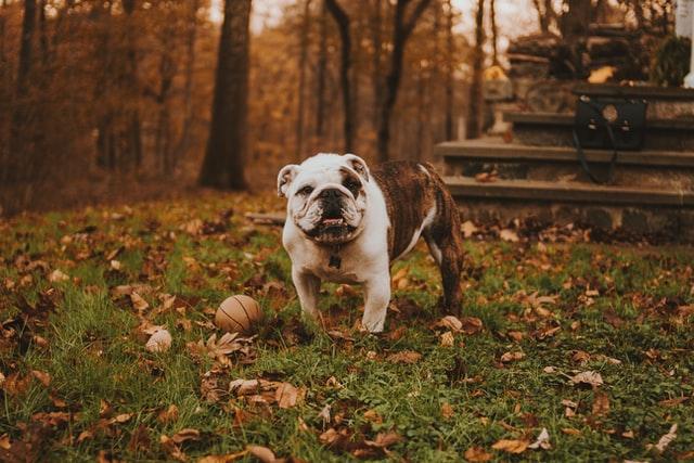 french bulldog vs. english bulldog