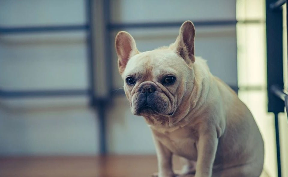 french bulldog hair loss