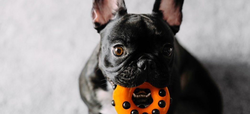 french bulldog teething