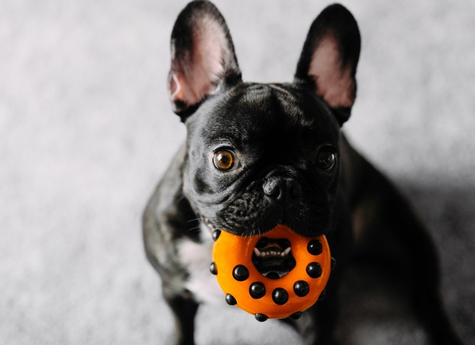 french bulldog teething