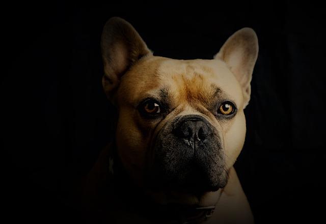 french bulldog heat