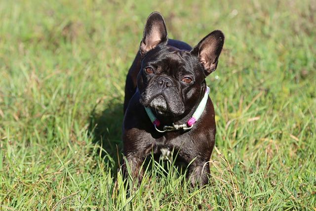 french bulldog shaking
