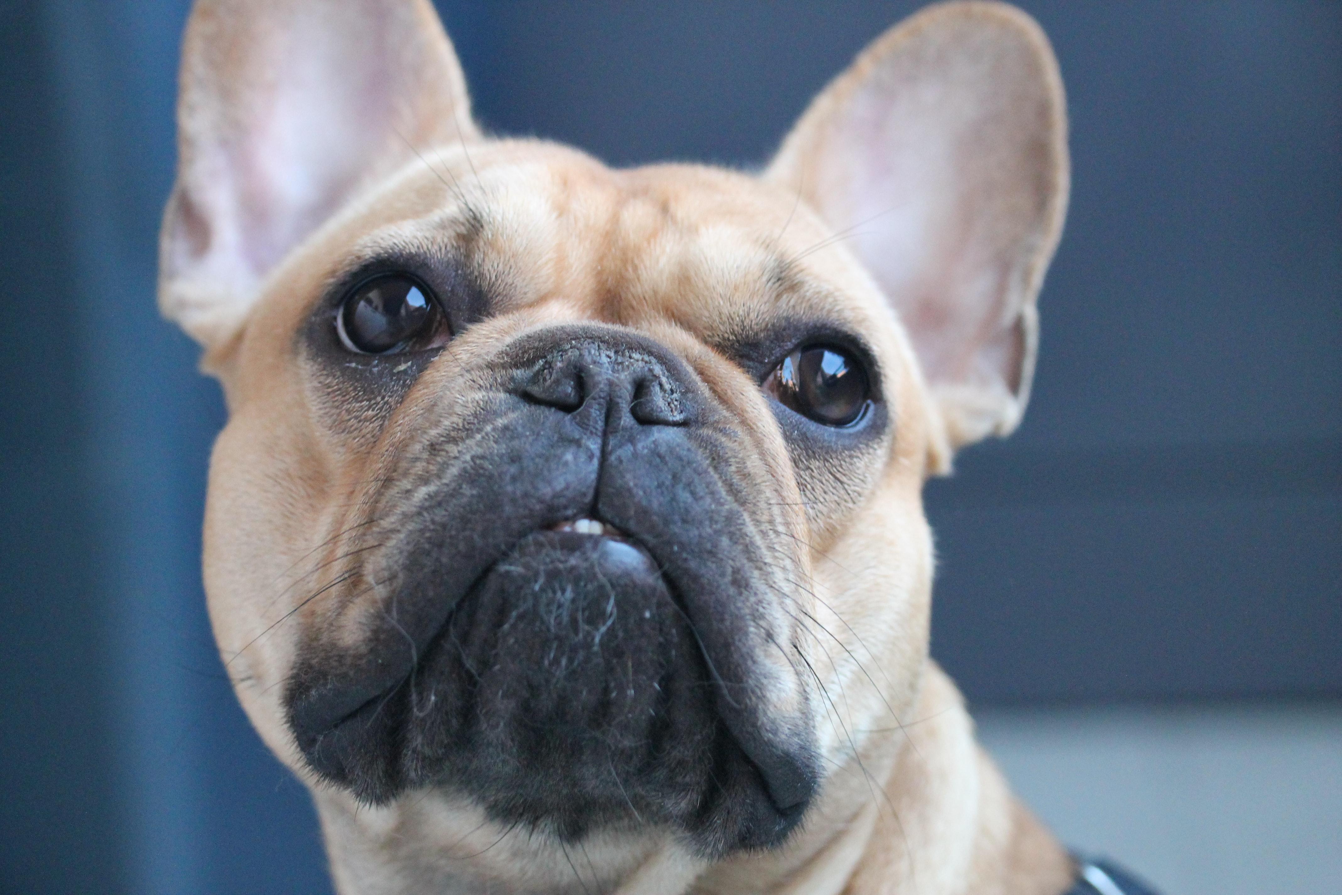 french bulldog hot spots