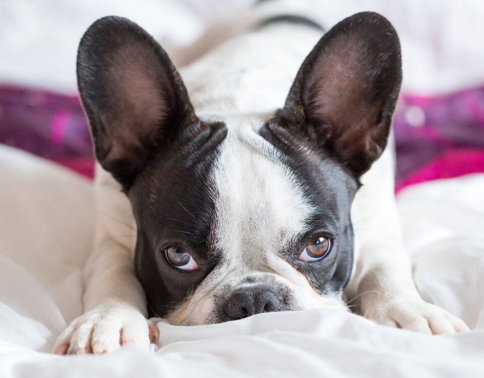stop sharing bed with your frenchie