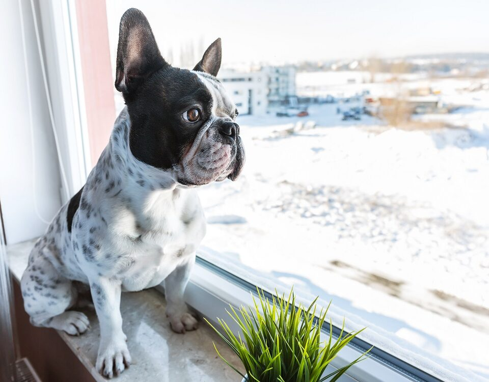 can french bulldogs be left alone